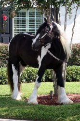 Beautiful gypsy vanner horse available   - Mirpur - free