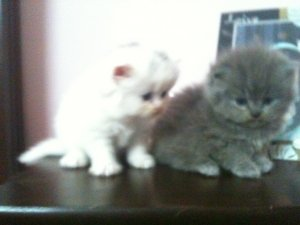 Persian kittens for sale  - Lahore - free classifieds in