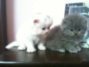 Persian cat in pakistan for sale