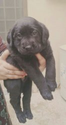 Black Labrador puppies for sale - Lahore - free classifieds