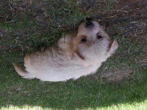 Westren terrior pups - Lahore - free classifieds in Pakistan