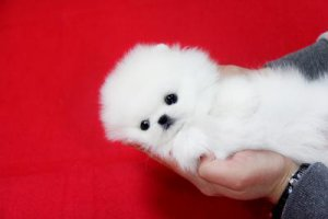 Lovely Male and Female Tiny Teacup Pomeranian Puppies For