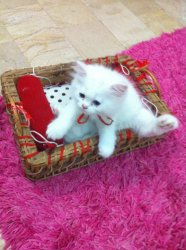 Price of persian cats in karachi