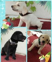 Labrador retriever puppies pure breed - Lahore - free