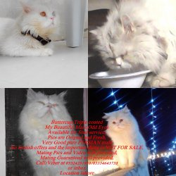 Persian cat for stud service - Lahore - free classifieds in