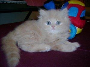Persian kitten for sale pakistan