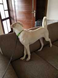 Seven months labrador vaccinated dog for adoption