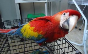 Scarlet & Blue/Gold Macaws Babies for Sale - Islamabad