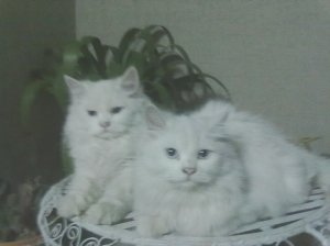Pair of persian punch face cat for sale - Islamabad - free