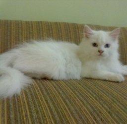 Persian cat in islamabad