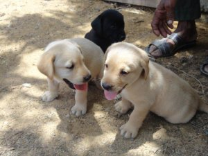 High quality labrador puppies (male & female) for sale