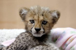 tigers cubs lions cub for sale islamabad free classifieds in