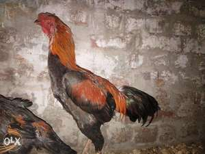 Aseel Rooster for Sale or exchange - Lahore - free