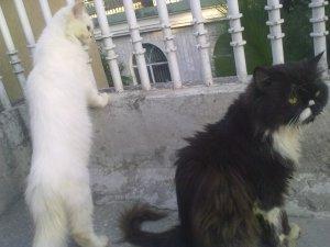 Persian cat pair - Islamabad - free classifieds in Pakistan