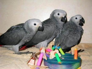Fertile Parrots Eggs And Parrots For Sale Rawalpindi