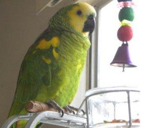 Fertile parrots eggs and parrots for sale - Rawalpindi