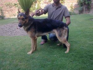 Energian Saasto—These German Shepherd Dog Price In Pakistan