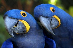 Hyacinth macaw parrots parrot and macaw eggs for sale - Khairpur