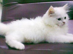 Persian kittens pair - Lahore - free classifieds in Pakistan